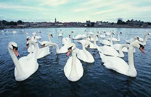 Our beautiful swans.